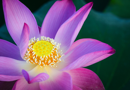 Close-up of lotus flower on the pond at sunny day. For thousands of years, the lotus flower has been admired as a sacred symbol. Banco de Imagens