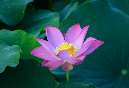 A single lotus flower blooming on the pond. For thousands of years, the lotus flower has been admired as a sacred symbol.