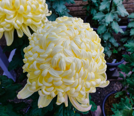 Yellow Japanese chrysanthemum flowers blooming at autumn in the garden Stock Photo