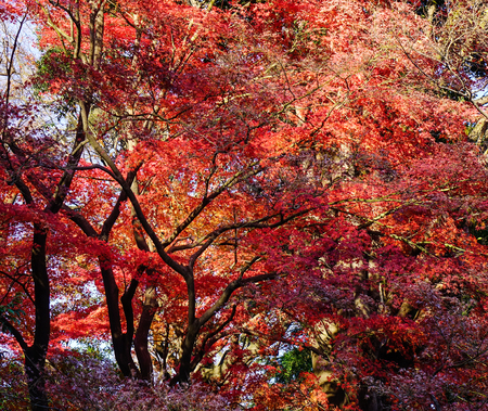 Maple trees at autumn forest in Kyoto, Japan. Stock Photo
