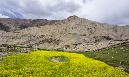 Mustard flower field in Ladakh, India. Ladakh is the highest plateau in the state of Jammu & Kashmir with much of it being over 3,000m.