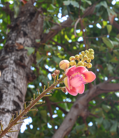 bethesda: A beautiful macro shot of a flower from the unusual cannonball tree (Couroupita guianensis). Stock Photo