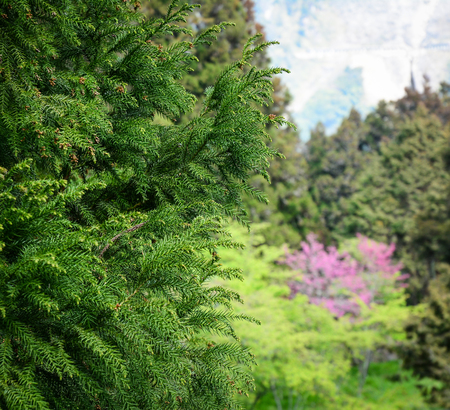 formosa: Pine trees at forest in spring time. Close up.