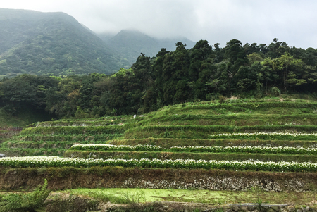 Zantedeschia aethiopica (known as calla lily and arum lily) flower fields on the hill at Yangmingshan National Park in Taiwan. Stock Photo