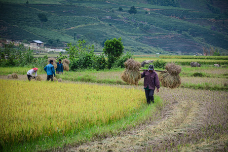 Lai Chau, Vietnam - May 29, 2016. A man carrying rice on the field in Lai Chau, Vietnam. Vietnam is the world second largest rice exporter, second only to India.