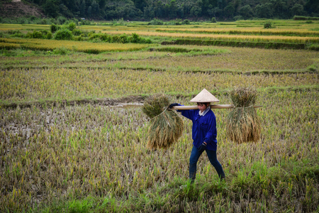 Lai Chau, Vietnam - May 29, 2016. A woman carrying rice on the field in Lai Chau, Vietnam. Vietnam is the world second largest rice exporter, second only to India.