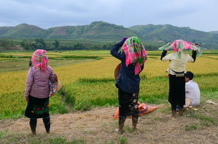 Lai Chau, Vietnam - May 29, 2016. Hmong people working on the rice field in Lai Chau, Vietnam. Vietnam is the world second largest rice exporter, second only to India.