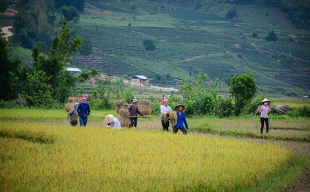 Hoa Binh, Vietnam - May 29, 2016. Many people harvesting rice on the field in Hoa Binh, Vietnam. Vietnam is the world second largest rice exporter, second only to India. Editorial