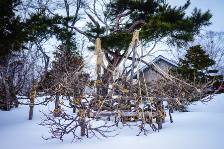 Pine Tree Garden At Rainy Day In The Winter. Japanese Garden. Stock Photo