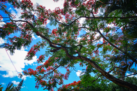 praslin: Flamboyant (peacock) trees and flowers under blue sky in summer. Stock Photo