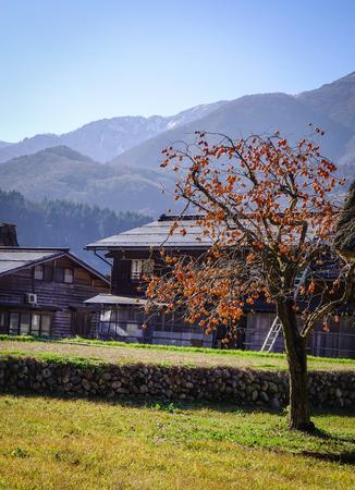 Kaki tree with fruits at  Japanese village Shirakawago in Gifu, Japan. Shirakawa-go is one of UNESCO World Heritage Sites in Asia.
