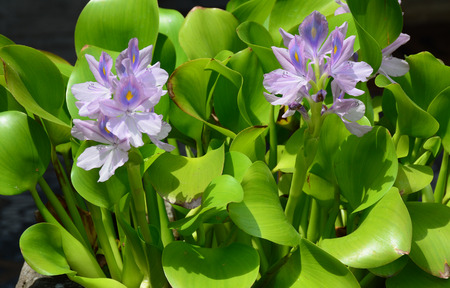 Closeup of Flowering Water Hyacinth (Eichhornia crassipes) on the pond