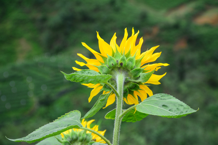 sunflower seeds: Sunflower blooming on the hill at national park. Close up.