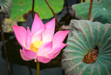 A lotus flower blooming at sunrise in Bali, Indonesia. Lotus flowers enjoy warm sunlight and are intolerant to cold weather. Stock Photo