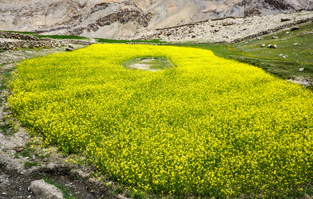 Field of Barbarea vulgaris flower at spring - Yellow Rocket plant (Cruciferae, Brassicaceae). Stock Photo