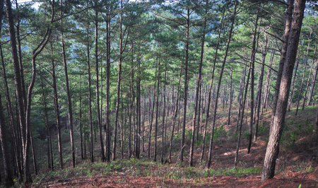 Pine tree forest at sunny day in Dalat, Vietnam. Da Lat is located 1,500 m above sea level on the Langbian Plateau.