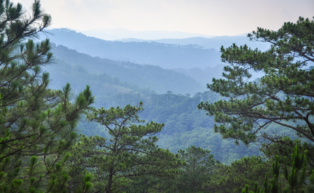 Pine tree forest in Dalat, Vietnam. Da Lat is located 1,500 m above sea level on the Langbian Plateau.