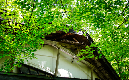 a wonderful world: Green maple trees with ancient wooden house at sunny day in summer.
