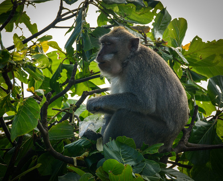 A monkey sitting on the tree  at forest in Bali, Indonesia.