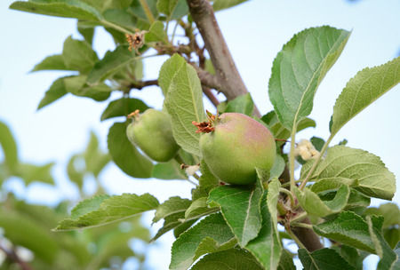 Close-up of green apple fruits on tree at sunny day in Ladakh, North of India.