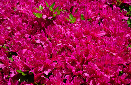beautiful rare: Red Rhododendron tree and flowers at the botanic garden Stock Photo