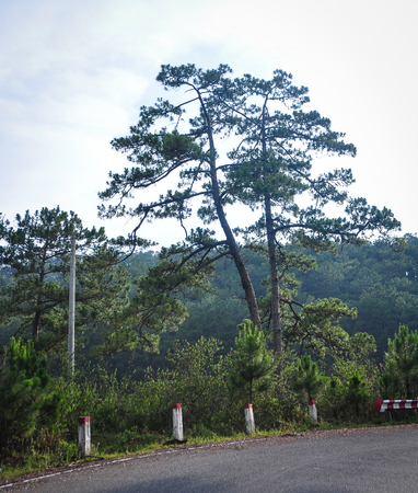 Mountain road with pine trees on the Dalat Highlands in Vietnam. Da Lat is located 1,500 m above sea level on the Langbian Plateau.