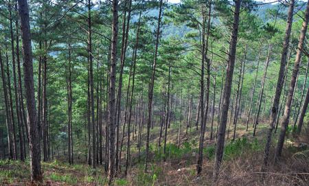 Pine tree forest on Dalat Highlands in Vietnam. Da Lat is located 1,500 m above sea level on the Langbian Plateau.