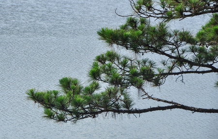 Pine tree with the lake on Dalat Highlands in Vietnam. Da Lat specific sights are pine wood with twisting roads and tree marigold blossom in the winter. Stock fotó