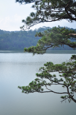 Pine tree with the lake background on Dalat Highlands in Vietnam. Da Lat specific sights are pine wood with twisting roads and tree marigold blossom in the winter. Stock fotó
