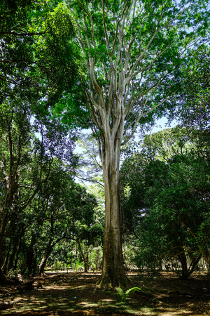 Huge trees at the Pamplemousses Botanical Garden. The garden is a popular tourist attraction in Mauritius.
