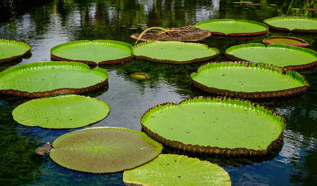 Giant water lilies (Victoria Amazonica) at Sir Seewoosagur Ramgoolam Botanic Garden in Mauritius. Stock Photo