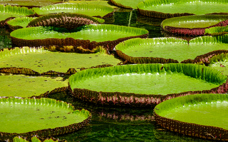 Giant water lilies (Victoria Amazonica) planted on pond at the Sir Seewoosagur Ramgoolam Botanic Garden in Mauritius. Stock Photo