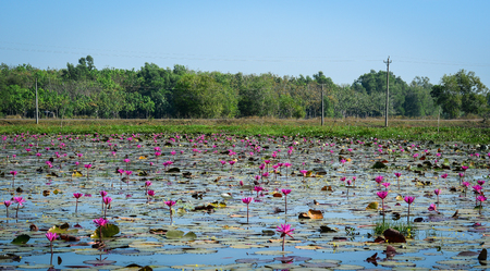 Waterlily flowers blooming on the beautiful lake in Southern Vietnam.