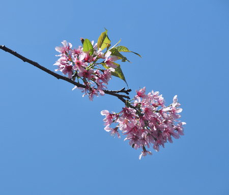 dalat: Cherry blossom under blue sky at sunny day in spring time