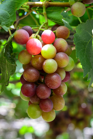 Grapes on the vine in Phan Rang, Vietnam. Grape garden is far 7 km from Phan Rang City, with around 200 varieties of grape and has 2500 hectares. Stock Photo
