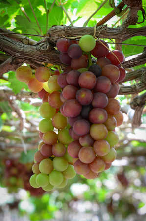 Harvesting grapes on the vine in Phan Rang, Vietnam. It has 2,500 hectares for grape planting with major locations in Phan Rang. Stock Photo