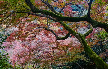 Autumn trees at forest in Kyoto, Japan. The former capital of Japan, famous worldwide for its temples and shrines, Kyoto was the center of politics and culture for 1100 years. Stock Photo