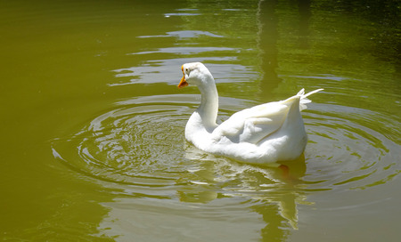 A white swan on the pond at sunny day in Highlands, Mauritius.
