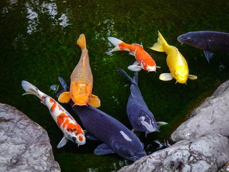 """Koivissen op de vijver in Kanazawa, Japan. Het woord """"koi"""" komt van het Japans en betekent gewoon """"karper"""". Stockfoto"""