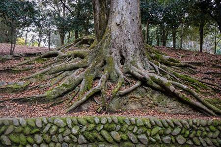 centenarian: Ancient tree with green moss at the city park in Nara, Japan.