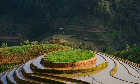 Rice field in Mu Cang Chai, Northern Vietnam. Mu Cang Chai is famous for its 700 hectares of terraced rice fields and a popular destination for tourists. Stock Photo
