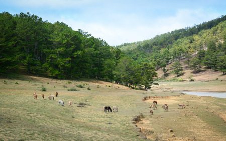 mongolia horse: Mountain scenery with wild horses in Dalat, Vietnam. Da Lat is located 1,500 m above sea level on the Langbian Plateau.