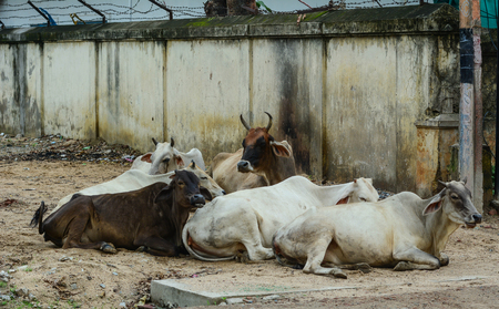 Holy cows on street in Bodhgaya, India. Bodh Gaya is a religious site and place of pilgrimage associated with the Mahabodhi Temple Complex in Gaya district in the Indian state of Bihar. Stock Photo