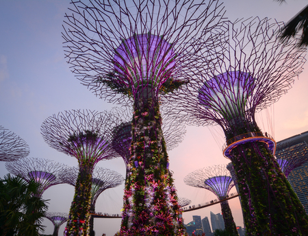 Singapore - Jul 5, 2015. View of Supertree Grove at twilight in Singapore. The Supertree Grove is located within the vast compound of Gardens by the Bay.