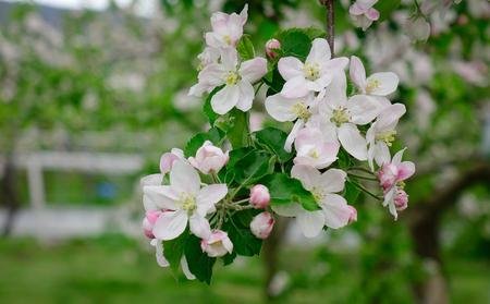 Apple flowers at garden in Akita, Japan. Akita Prefecture (Akita-ken) is a prefecture of Japan located in the Tohoku region of northern Honshu.