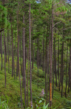 Pine forest on the hill at sunny day in Dalat, Vietnam. Da Lat is a popular tourist destination, located 1,500m above sea level on the Langbian Plateau.