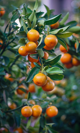 Kumquat trees and fruits at spring time. In nearly every household crucial purchases for Tet include the peach flowers and kumquat plants.