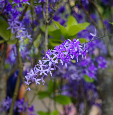 petrea: Petrea volubilis flowers at sunny day in spring time. Stock Photo