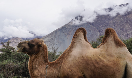 Rare two-humped camels standing on the hill in Nubra Valley, Ladakh, India.