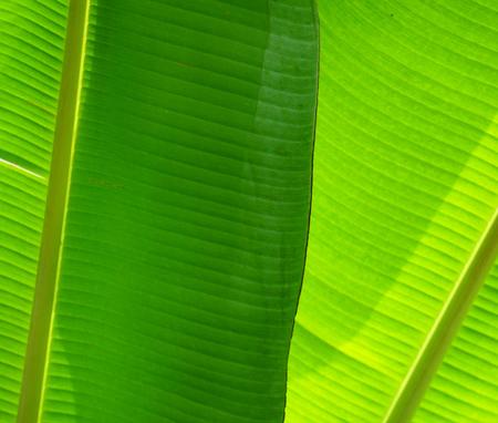 Green leaf close-up texture. Natural backdrop. Tropical nature detail. Fresh green banana leaf background.